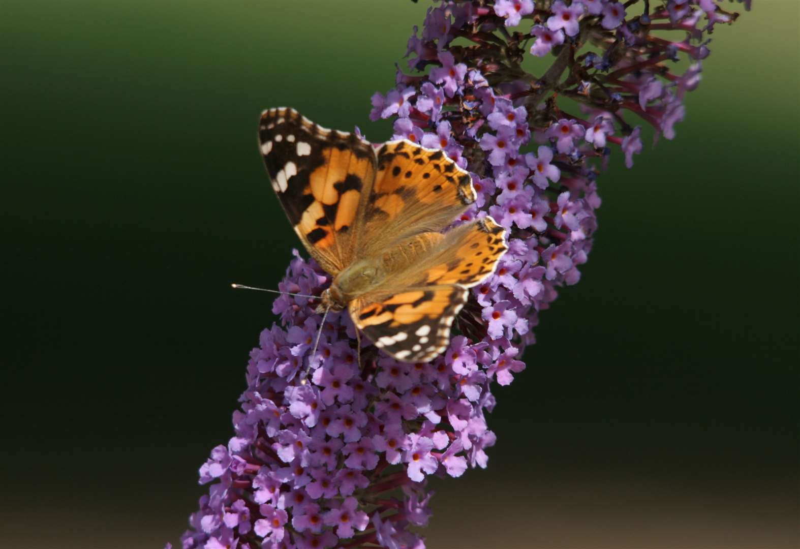 Millions of painted lady butterflies are on their way