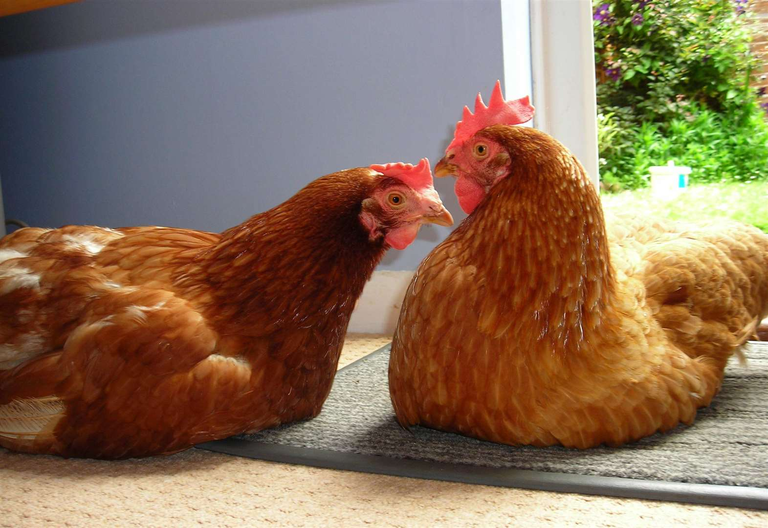 How you can save a hen's life