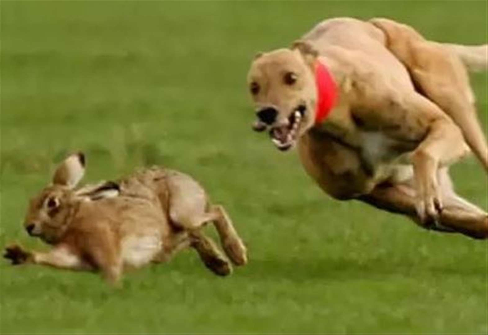 Police hunt hare coursers